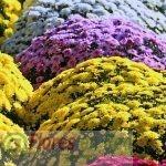 Crisantemos Flores todos los Santos Vitoria