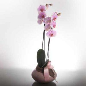 enviar orquideas a domicilio, enviar planta de navidad online, enviar planta de navidad a domicilio, orquideas para regalar, planta crasa