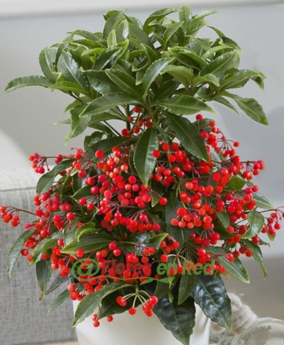 Ardisia Decorativa
