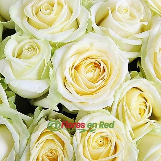 Detalle 101 Rosas Blancas