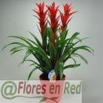 Grupo Guzmanias Rojas Planta