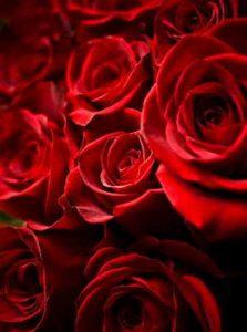 Rosas, flores, rosas rojas, Floristería Vitoria, envío urgente flores Vitoria, rosas rojas San Valentin Vitoria, Rosas Rojas Sant Jordi Vitoria