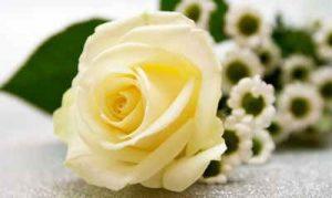 rosas, ramo de rosas, enviar rosas, ramo rosas, ramode rosas blancas precio, ramo rosas blancas, enviar ramo de rosas, ramos de rosas blancas, regalar rosas a domicilio