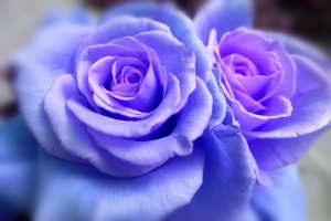 Flores, Rosas, Flores eternas, Enviar Ramo de flores, rosas azules, flores nacimiento azules, rosas eternas azules, rosa preservada