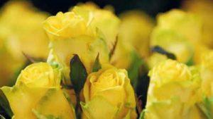 Rosas, rosas amarillas, ramo de rosas amarillas, 12 rosas amarillas, ramo rosas, ramo de 24 rosas amarillas