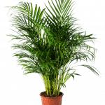 Areca Planta