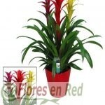 Bromelias colores FR 442