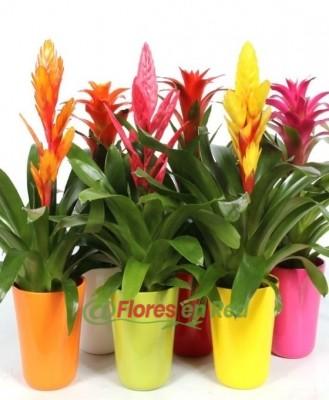 Bromelias variadas, Plantas para regalo