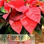 Flor de Navidad dorada y roja