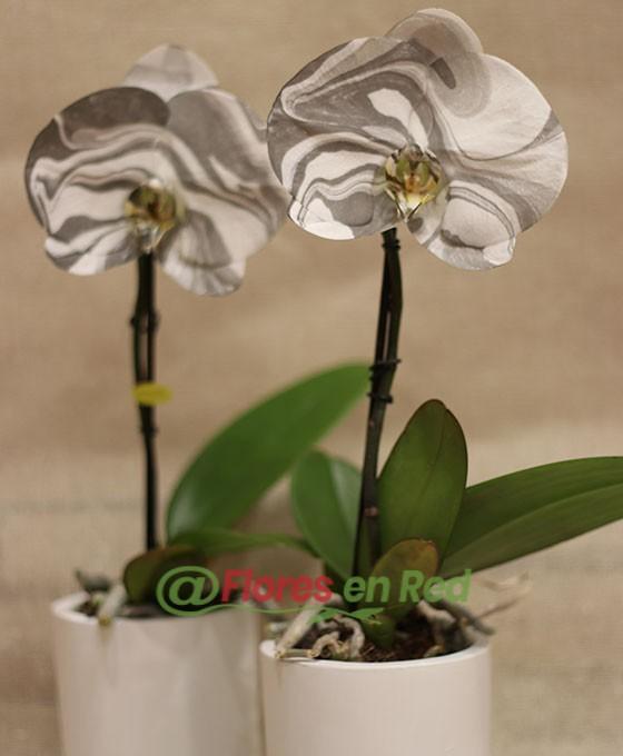 Orquídea bicolor